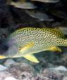 Undervandsfoto af en gul fisk med sorte pletter.