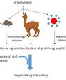 Grafik viser arbejdsgangen fra a-synuclein over mus og lama til diagnose og behandling af parkinsonisme.