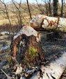 [Translate to English:] Et træ fældet af en bæver.