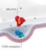 Skematisk præsentation af albumin-molekyle, som interagerer med den neonatale FcRn receptor. Grafik: Albumedix Ltd.